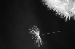 dandelion-on-black-background-1369467854WmV