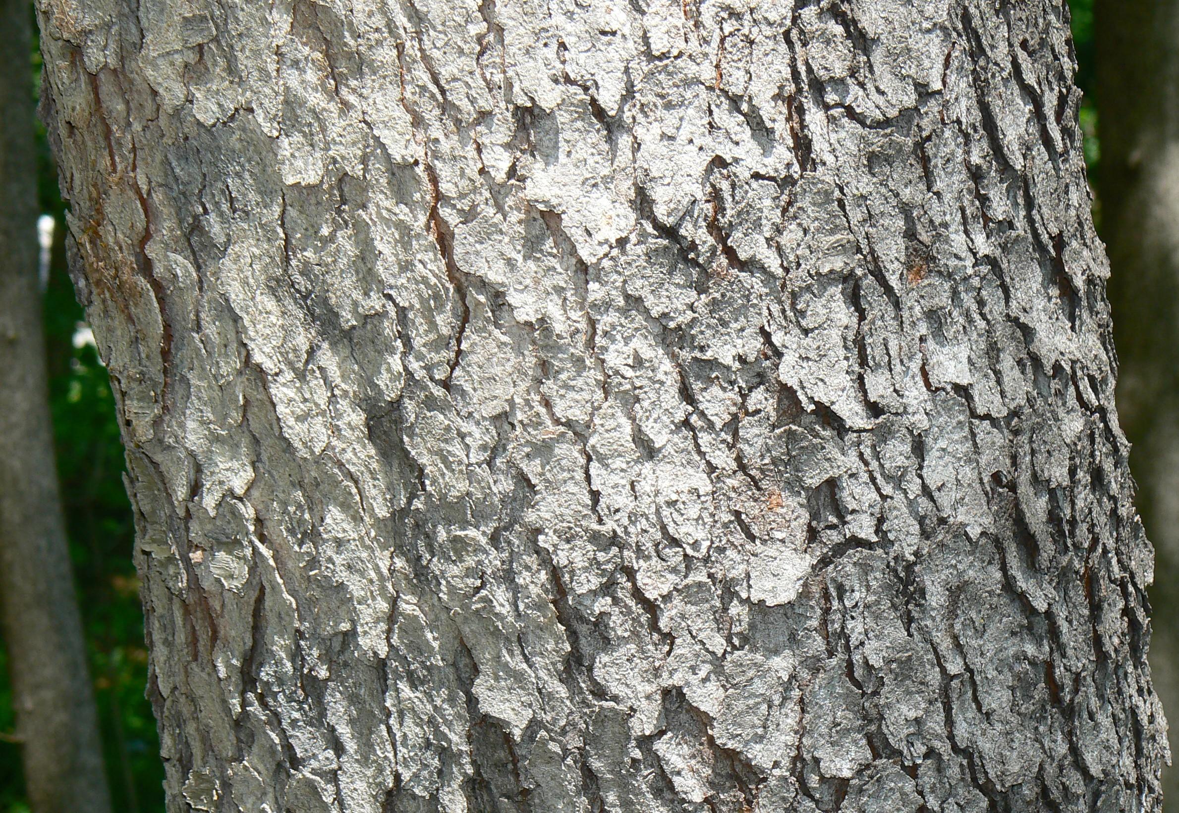 Wild medicinal herbs d... Prunus Serotina Bark