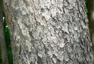 Black_Cherry_(Prunus_serotina)_bark_detail